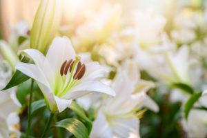 Lilien im Garten