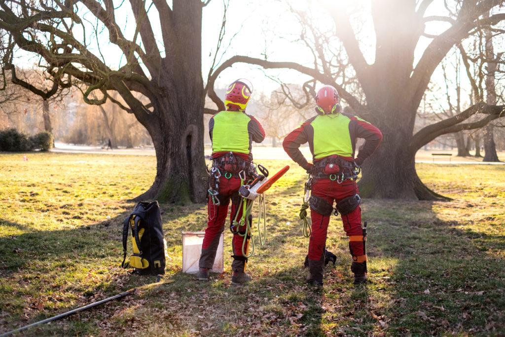 Zwei Baumkletterer wollen Baum schneiden