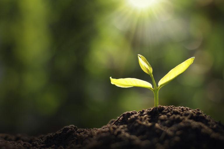 Neugepflanzter Sätzling