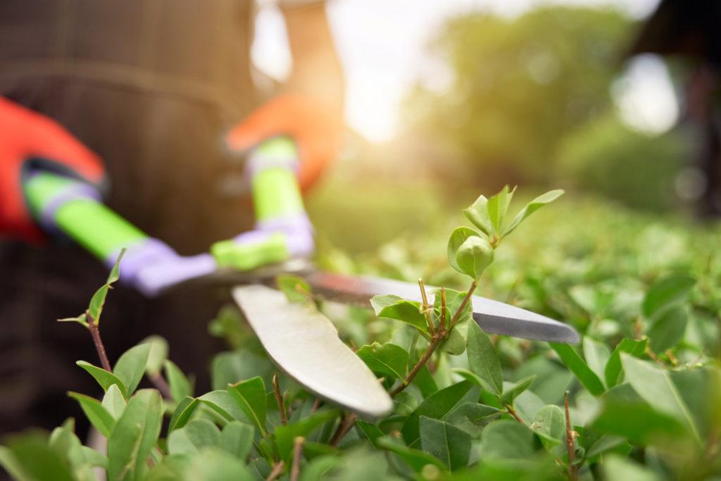 Hecken schneiden mit großer Gartenschere